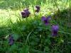 Viole nel mio giardino